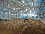 Il pollame alloggia la strumentazione alimentante della gabbia di strato