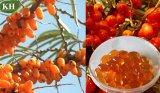 El 100% natural y aceite de semilla puro del espino cerval de mar de la alta calidad