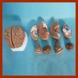 인간 두뇌 교육 간호 가르치는 모형 (8개 부품)