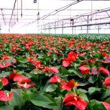 Invernadero industrial del palmo multi comercial para la venta