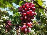 ブドウ、サトウキビ、バナナの植わることのためのUnigrowの生物有機肥料
