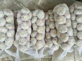 Aglio bianco puro del nuovo raccolto (5.0cm ed aumentano)
