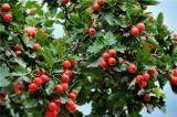Natürliches Weißdorn-Blatt-Auszug-Puder für Nahrungsmittel und Ergänzung
