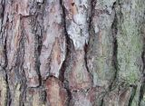 Extrait d'écorce de pin Proanthocyanidines pour aliments et suppléments