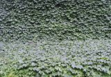 Água - IVY solúvel Leaf Extract Powder Plant Extract