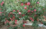 2017 nueva estrella roja fresca Apple con la alta cosecha