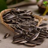 Les graines de tournesol chinoises avec la plus grande taille 363 vers Moyen-Orient