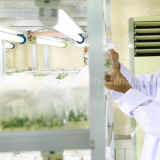 Baga orgânica de Goji do certificado de Ecocert da nêspera