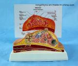 Anatomische Model van de Borst van het Type van bureau het Model/Pathologisch