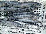 동결된 까만 스페인 고등어 가격