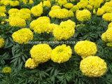 Lutein CAS kein natürlicher Auszug der Ringelblume-127-40-2