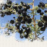 セイヨウカリンの自然な甘く赤いWolfberry黒いGojiの果実