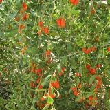 Colore rosso organico Gojiberry delle erbe dell'ETB della nespola