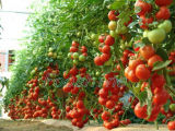 Poeder van het Aminozuur van Agricultura van meststoffen het In water oplosbare, Aminozuren +Mob