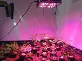 Аполлон 180W Greenhouse Vegetables СИД Grow Light