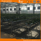 Alto Yield Multi-Span Glass Greenhouse per Agribusiness