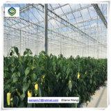 Multispanのラズベリーのための商業Hydroponicパソコンシートの温室