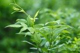 자연 FDA는 잔존물 Dihydromyricetin 98% (DHM) HPLC를 추방한다