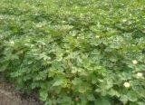 Fertilizzante solubile in acqua dei microelementi Mn+B+Zn+Mo che promuove i fiori che riservano i fiori e la frutta