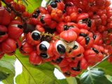 100% Natural Guaraná extracto de semilla de 10% -20% / bebidas funcionales a la materia prima