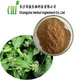 Herba Lycopi P.E, polvo del extracto de Lycopi del Herba para el suplemento de los alimentos