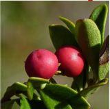 Extrato natural elevado 20% da uva-ursina, 99% Arbutin/artostaphylos UVA-Ursi