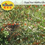 Bacca organica di Goji di alta qualità dell'ETB della nespola