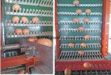 Colección automática del huevo para el uso de la granja de los pájaros del pollo