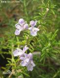 Rosemarinus Officicinalis L., estratto della Rosemary, polvere dell'estratto della Rosemary