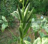 Ibisco organico naturale Esulentus L dell'estratto del gombo di 100%