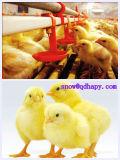 Tasse à boire au mamelon pour la volaille Maison agricole avec construction de maisons