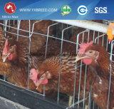 Слой в клетках батареи Алжира для кладя куриц (A4L160)