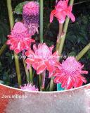Чисто естественная выдержка Zerumbone Smith Zingiber, CAS#: 471-05-6, Zerumbone 99%
