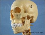 Equipamento de laboratório anatômico do modelo do osso do ensino médico de esqueleto humano do subministro médico