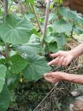 Bazillus Laterosporus des Biodüngemittels verwendet, um irgendein Gemüse zu pflanzen