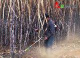 Petite moissonneuse universelle de canne à sucre de pelouse pour la canne à sucre
