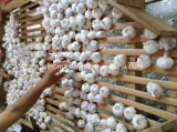 신선한 마늘 (일본 시장)