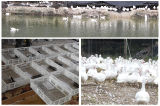Incubateur industriel approuvé d'oeufs d'aviculture de la CE pour 1056 oeufs