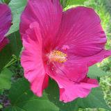 목부용속의 식물 꽃 추출 안토시아니딘; Polyphenols