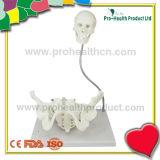 Modelo anatómico de la educación del parto de la demostración ginecológica de la cavidad pélvica (pH03-057)