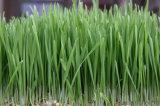 Estratto dell'erba del frumento della polvere dell'estratto del rifornimento del fornitore