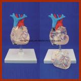 Modelo adulto del corazón de la talla natural transparente