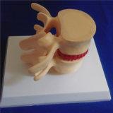 인간적인 해골 척추 란 의학 데몬스트레이션 생물학 모형