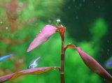 Polvere dell'estratto della corteccia del salice viola