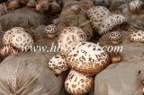 гриб Shiitake белого цветка верхнего качества 4-5cm высушенный
