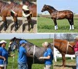 [هي برسسون] حيوانيّ وزن [تب مسور] لأنّ حصان حجر السّامة