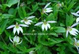 Порошок выдержки Lobelia изготовления Chinensis