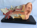 의학 가르치는 귀 해부 데몬스트레이션 모형 (R070103)