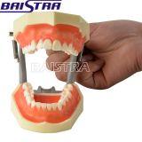 [ستندرد مودل] صمغ شفّافة يعلّب نموذج أسنانيّة [زر-1004] نموذجيّة