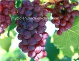 Proanthocyanidin 95%の酸化防止剤100%の自然なブドウのシードのエキスのポリフェノール95%